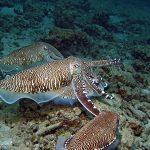 qdt cuttlefish