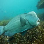 qdt bumphead parrotfish
