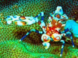 mabul harlequin shrimp