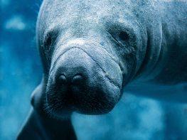 mantanani dugong
