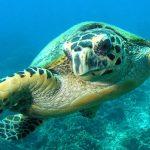 B&J tioman turtle