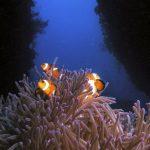 B&J tioman landscape clown fish