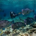 borneo divers humpheads