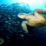 borneo divers turtle